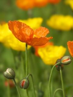 Poppy01stf