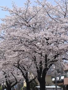 Sakura006