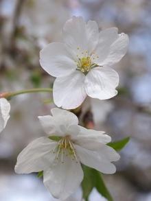 Sakura008
