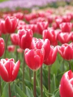 Tulip01vs