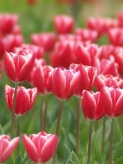 Tulip03stf