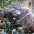 コアラ寝入り